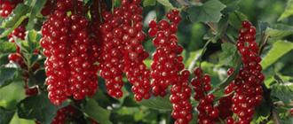Заморозка красной смородины на зиму в домашних условиях