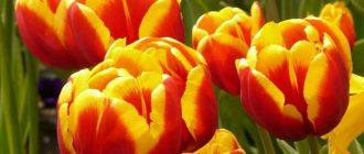 Как можно сохранить срезанные тюльпаны и их луковицы для посадки